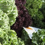 Learn to Love Kale!  3 Simple Steps