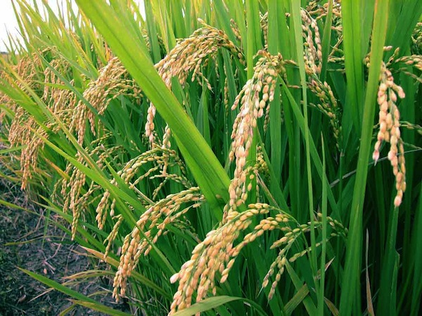 FDA: Arsenic Levels in Rice Pose No Short Term Risk