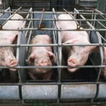FDA Bans Antibiotics for Livestock, But Not Really
