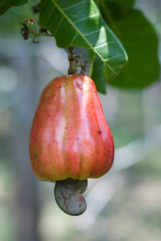 7 Things You Didn't Know About Cashews