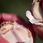 Great Garlic Grown in Gilroy