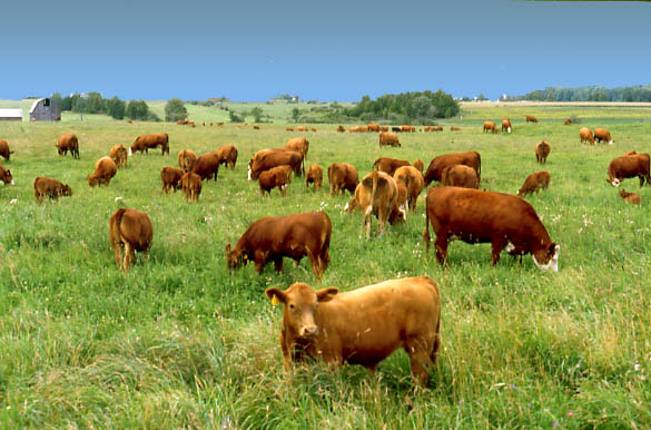 Grass Fed Beef – Healthy or Hype?