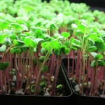 Micro-green Super-food
