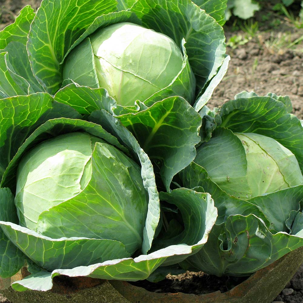 The Humble Cabbage – 11 Things You Didn't Know