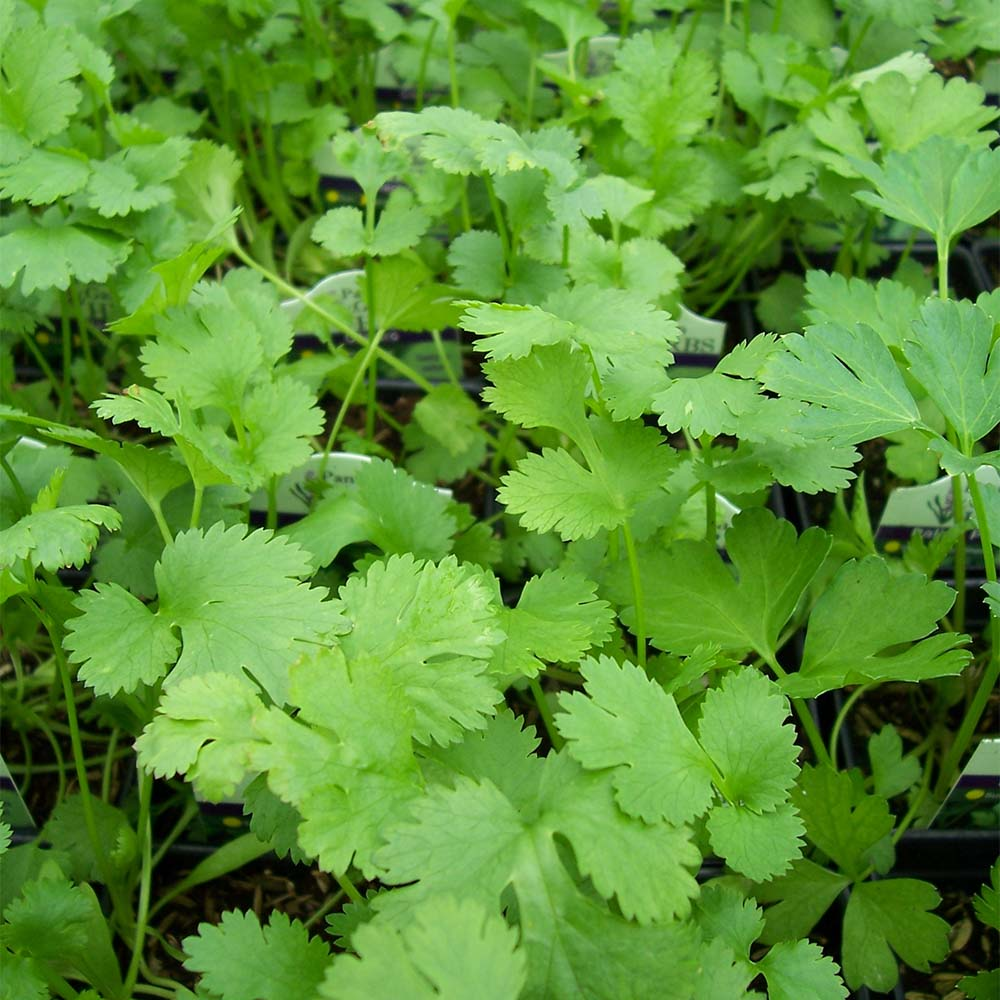 Cilantro Love. Or Hate