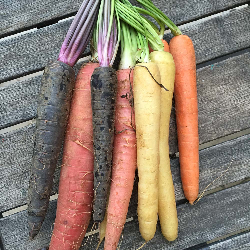 Which Came First, the Purple or the Orange Carrot?
